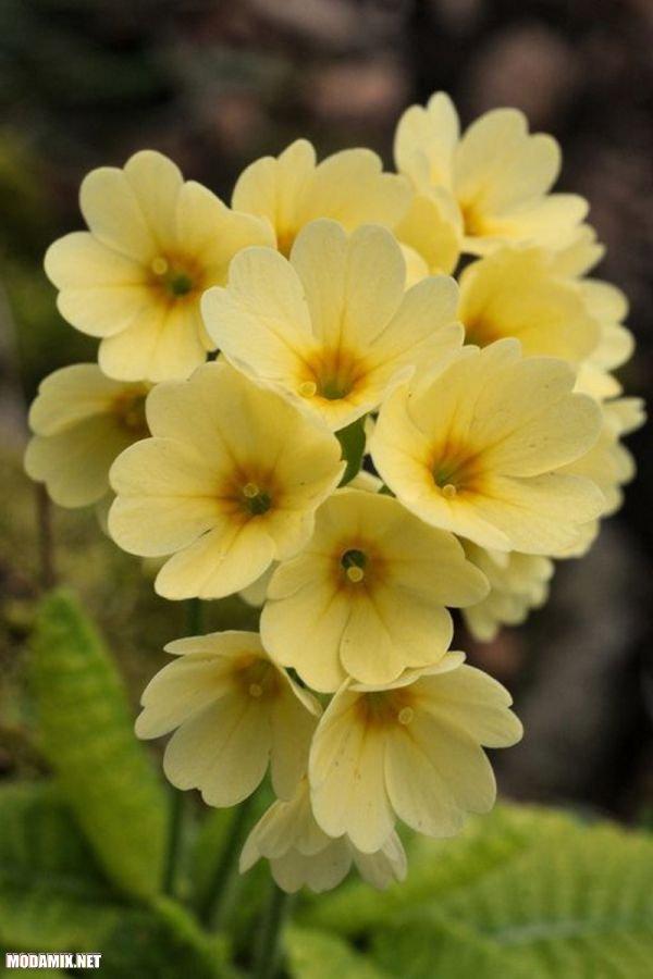 Фото желтой примулы в природе