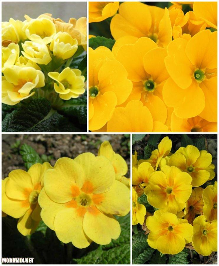 Желтая примула в природе
