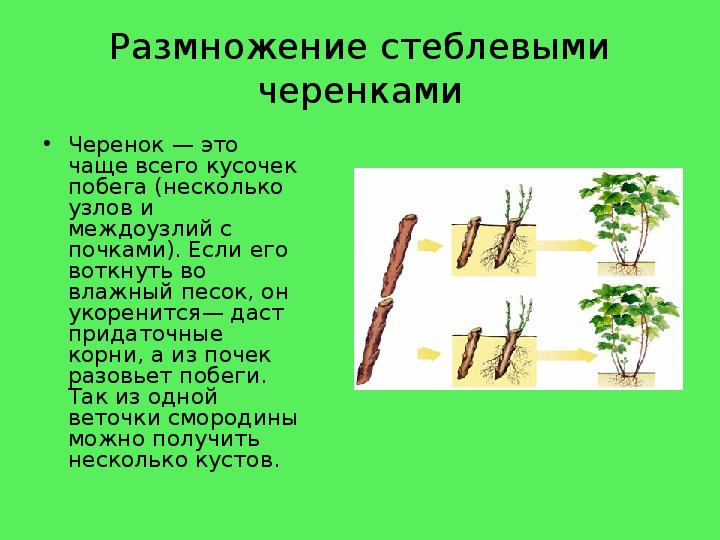 стеблевые черенки