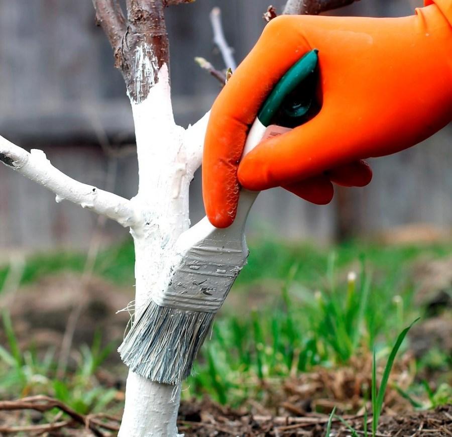 Побелка для плодовых деревьев
