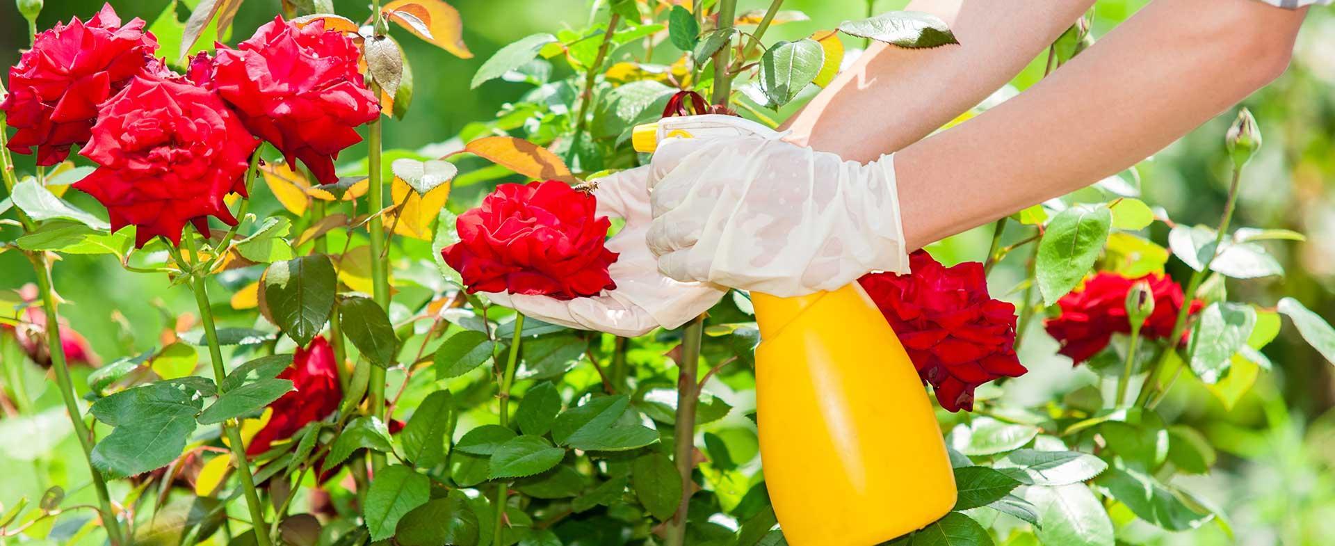ухаживать за розами