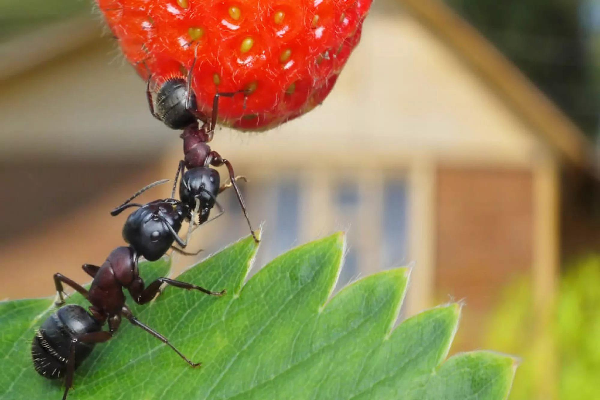 муравьи в огороде