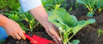 Как высаживать рассаду
