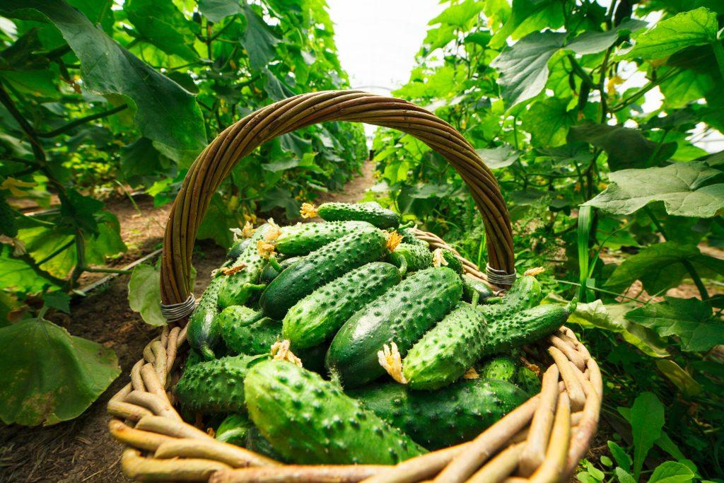 Выращиваем огурцы