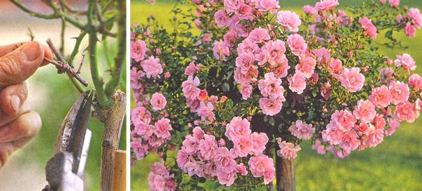 Обрезка кустовых и штамбовых роз