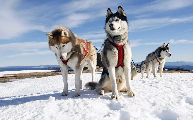 Питомник ездовых собак «Северный» г. Москва. Фото