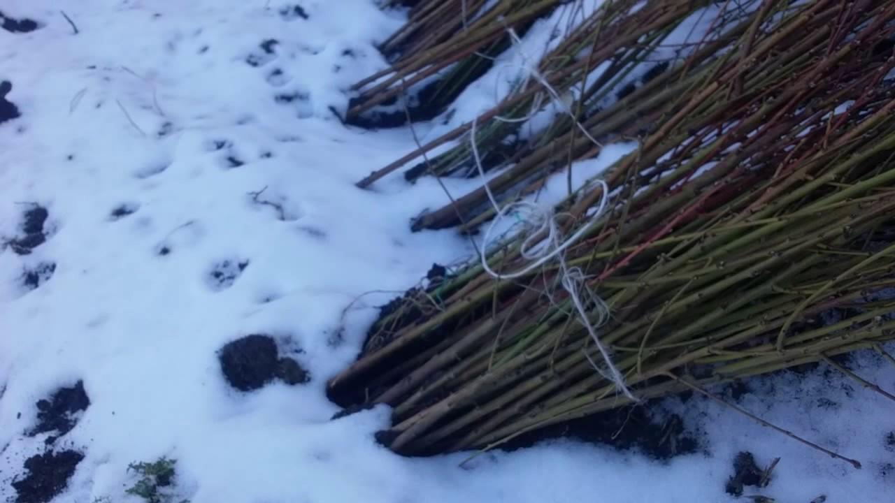Прикопка саженцев на зиму